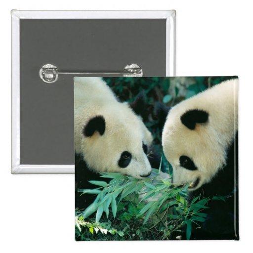 Dos pandas que comen el bambú junto, Wolong, Pin Cuadrado