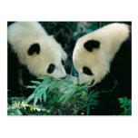 Dos pandas que comen el bambú junto, Wolong, Tarjetas Postales