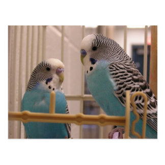 Dos Parakeets Tarjeta Postal
