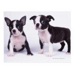 Dos perritos blancos y negros tarjetas postales
