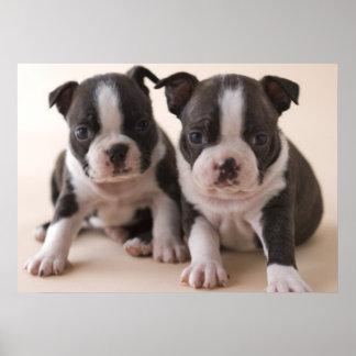Dos perritos de Boston Terrier Póster