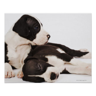 Dos perritos de great dane del Harlequin en blanco Impresiones