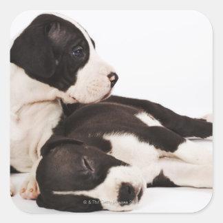 Dos perritos de great dane del Harlequin en blanco Pegatina Cuadrada