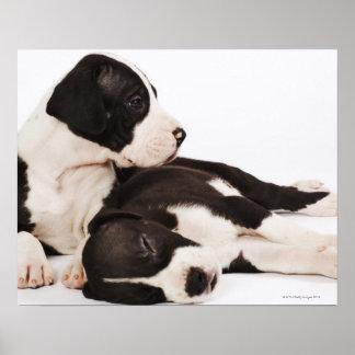 Dos perritos de great dane del Harlequin en blanco Póster