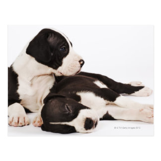 Dos perritos de great dane del Harlequin en blanco Tarjeta Postal
