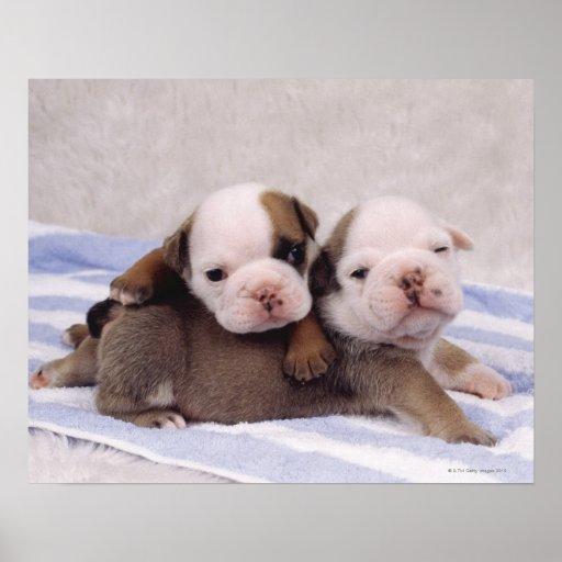 Dos perritos del dogo en la toalla impresiones