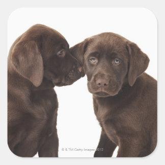 Dos perritos del labrador retriever del chocolate pegatina cuadrada