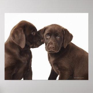 Dos perritos del labrador retriever del chocolate póster