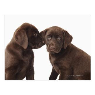 Dos perritos del labrador retriever del chocolate postal