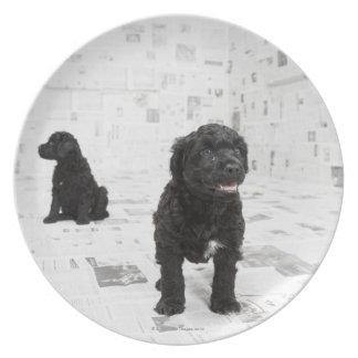 Dos perritos portugueses del perro de agua en un platos para fiestas