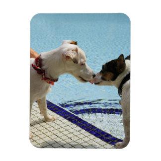 Dos perros que se besan en el poolside imanes rectangulares