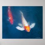 Dos pescados japoneses del koi en la charca impresiones