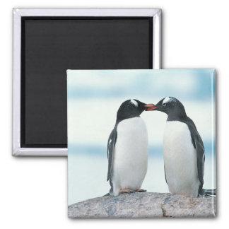 Dos pingüinos que tocan los picos imán cuadrado