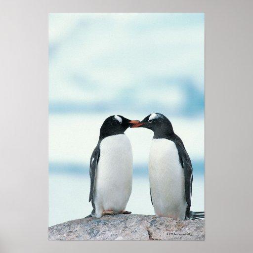 Dos pingüinos que tocan los picos póster