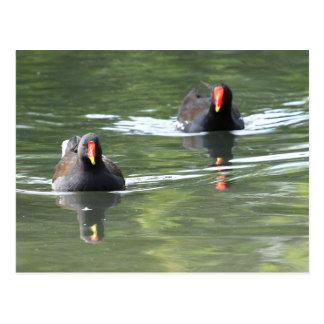 Dos pollas de agua postal