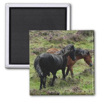 Dos potros de Dartmoor que vagan por en el brezo Imanes Para Frigoríficos
