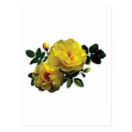 Dos rosas amarillos en sol tarjetas postales