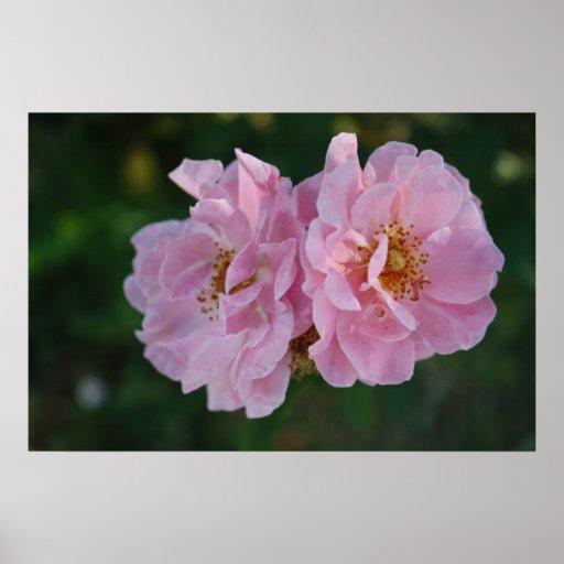 Dos rosas rosados posters