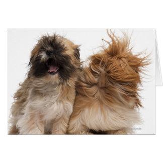Dos Shih-Tzus en el viento Tarjeta De Felicitación