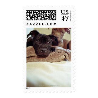 Dos terrieres de pitbull que se sientan dentro, sello postal