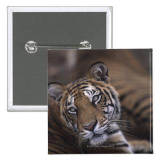 Dos tigres (Panthera el Tigris) que se acuestan, 2 Pin Cuadrado