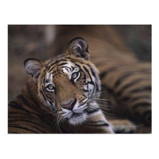 Dos tigres (Panthera el Tigris) que se acuestan, 2 Tarjetas Postales