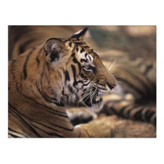 Dos tigres (Panthera el Tigris) que se acuestan, Tarjeta Postal