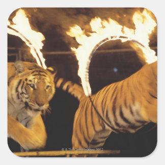 Dos tigres que saltan a través de los cinturones pegatina cuadrada