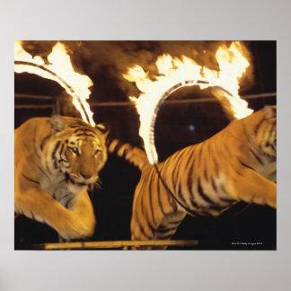 Dos tigres que saltan a través de los cinturones póster
