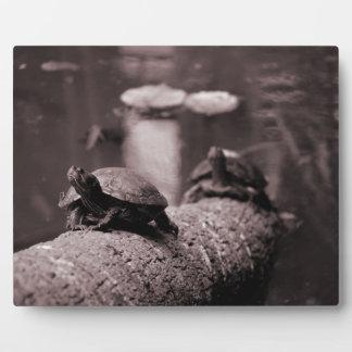 dos tortugas en sepia del tronco de la palma placas con fotos