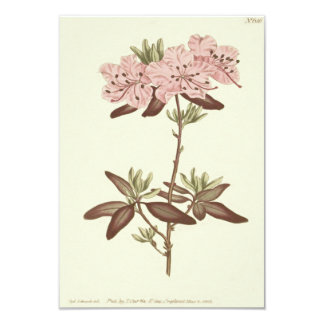 Dotted Leaved Rhododendron Illustration Card