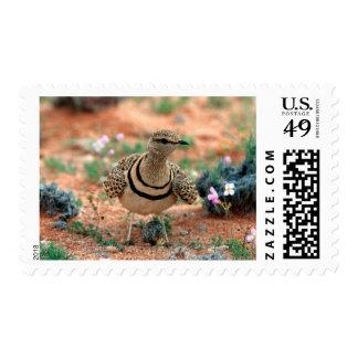 Double-Banded Curser (Rhinoptilus Africanus) Postage