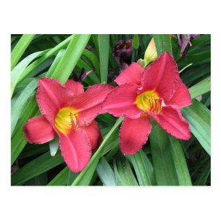 Double Blossom Daylilies Postcard