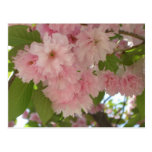 Double Blossoming Cherry Tree II Pink Spring Postcard