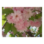 Double Blossoming Cherry Tree II Pink Spring Poster