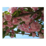 Double Blossoming Cherry Trees IV Pink Spring Postcard