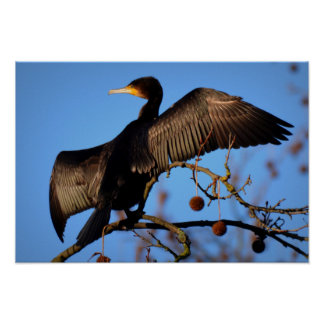 Double-Crested Cormorant - drying feathers Poster