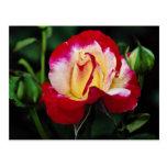Double Delight Hybrid Tea Rose 'Andeli' White flow Postcard