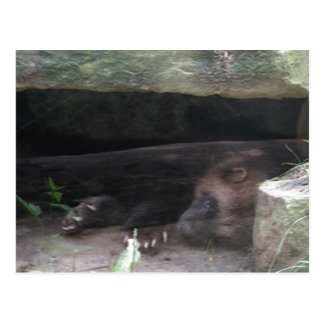 Double-Exposed Wolverine Rests, Shows Claws Postcard