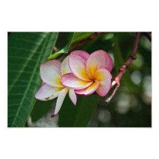 Double Frangipani Flower Photo Print