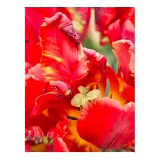 Double Frilly Tulip Postcard