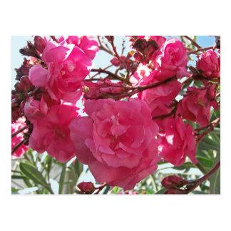 Double Oleander 1 Postcard