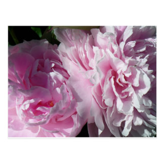 Double Pink Peonies Postcard