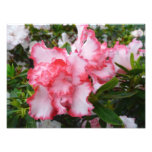 Double Red and White Azaleas Spring Floral Photo Print