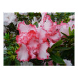 Double Red and White Azaleas Spring Floral Poster