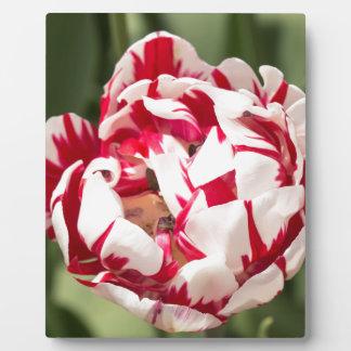 Double Striped Tulip Plaque