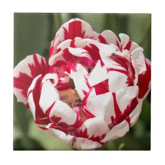 Double Striped Tulip Small Square Tile