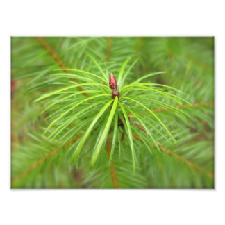 Douglas Fir Leaf Bud Photo Print