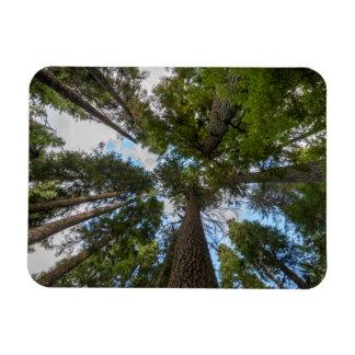 Douglas Fir tree canopy Magnet
