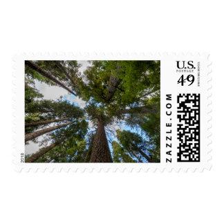 Douglas Fir tree canopy Postage